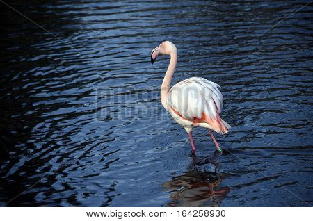 Pinky Flamingo In Blue Water