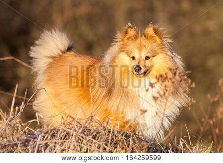 Shetland Sheepdog stands on a brown field