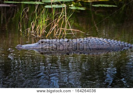 Alligator in the water at Everglades National Park