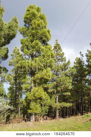 Flora Of Gran Canaria - Canarian Pines