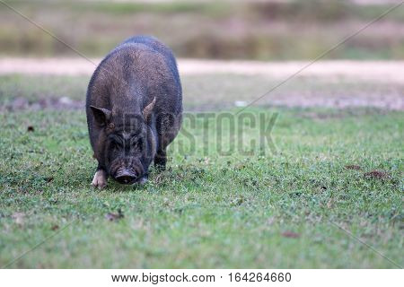 Black pig grazing in the grass on farm.