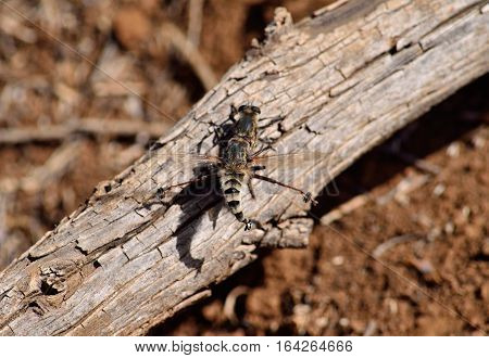 Courtship of two robber flies on a dry trunk