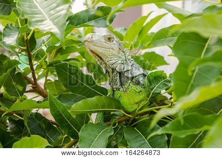 A Green Iguana on the Big Tree