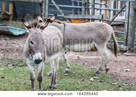 Donkey portrait with a blurred stable background.