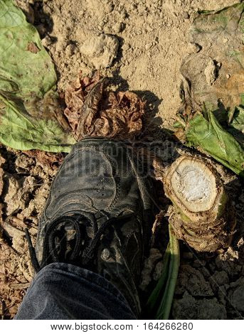 A cut tobacco stalk stump next to a womans foot for reference. These stalks are 2