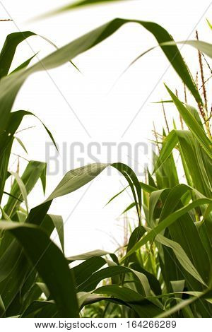Looking skyward through field corn in the tassel stage. Pollen is produced on the spiky tassels and pollinates the silks. Each pollinated silk produces one kernel of corn. Corn is wind pollinated so even garden corn is best planted in blocks not single ro