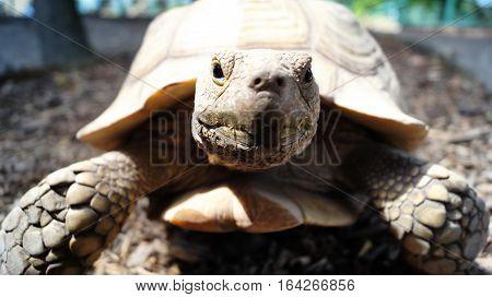 old big African spurred tortoise in sunshine