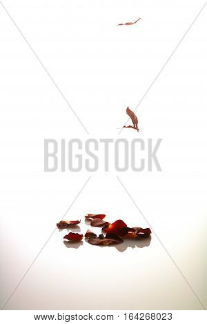 Falling red rose petals on white background