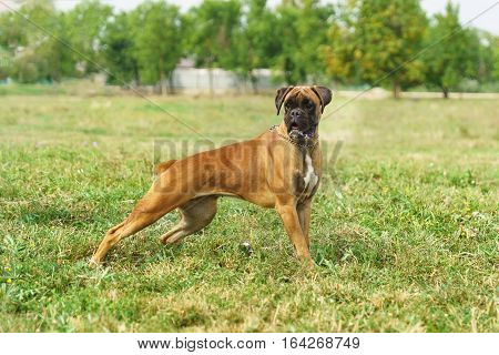 Young bitch breed German boxer is in the rack