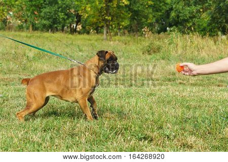 Young dog breed German boxer looks at a toy