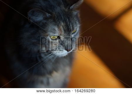 Green eyes, grey medium hair length cat