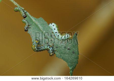 Few larvae (larvae) Sawfly (lat. Arge ochropus) on the roses