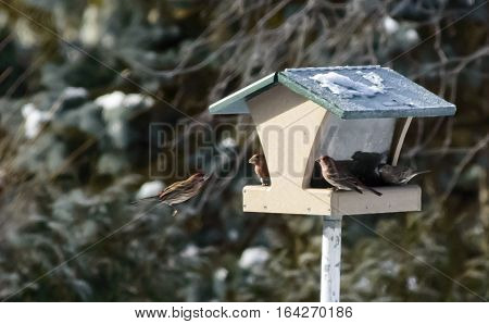 House Finch in flight Carpodacus mexicanus male red bird avian winter bird house nature background image with one female bird and room for copy