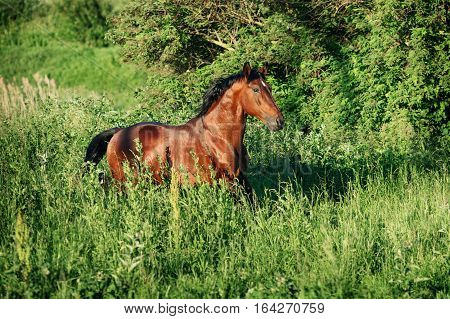 The bay horse runs gallop on the loose