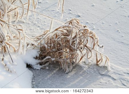 frozen tussock of sear grass on the bank of a river covered with ice in winter