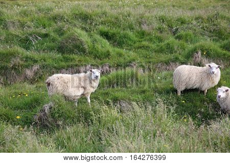 Sheep on the Meadow in Iceland. Northern Europe