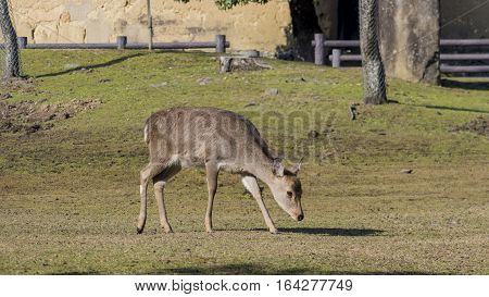 Deer And The Famous And Historical Todaiji In Nara Park