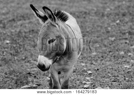 Close up donkey portrait in black and white.