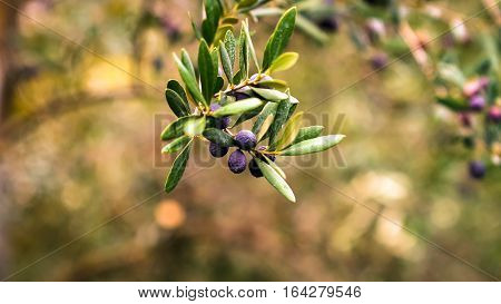Olives on a branch ready to be harvested.