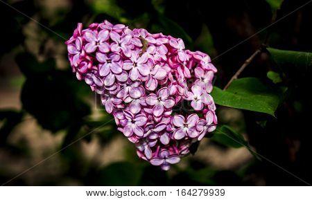 A beautiful bunch of lilac closeup. Lilac Bush Bloom. Lilac flowers in the garden.
