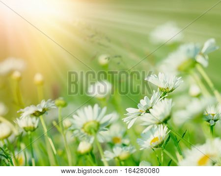 Beautiful flowering in spring - daisy flowers in meadow lit by sun rays (sunlight)