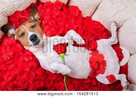 jack russell dog sleeping in love while lying on bed with valentines petal roses as background holding a red rose