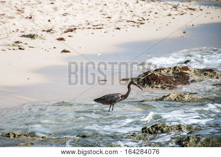 Mexican heron bird at the beach del carmen in Yucatan 2