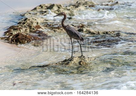 Mexican heron bird at the beach del carmen in Yucatan 8