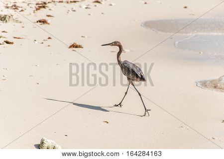 Mexican heron bird at the beach del carmen in Yucatan 10