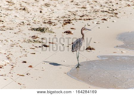 Mexican heron bird at the beach del carmen in Yucatan 11