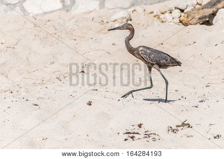 Mexican heron bird at the beach del carmen in Yucatan 13