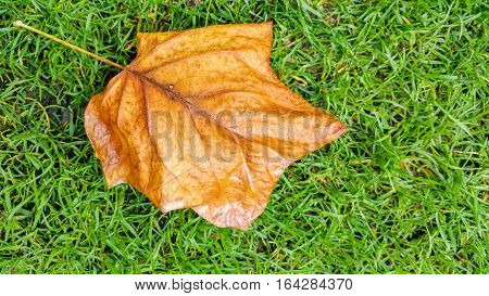 Weathered fallen dried leaf laying on wet green grass. Contrast on the duality of nature.