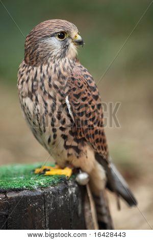 Visión común de cernícalo - Falco tinnunculus - primer plano de esta hermosa Ave