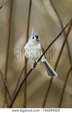 Alert Tufted Titmouse perched on bending reed
