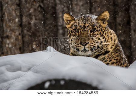 One of the few Amur Leopard from winter Russia of the Far East, He's name Steven
