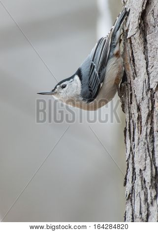 A nuthatch perched on the side of a tree trunk.