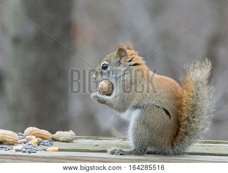 A red squirrel perched in a wooden fence.