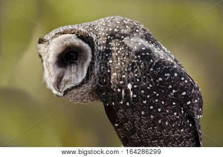 this is a close up of a southern boobook owl