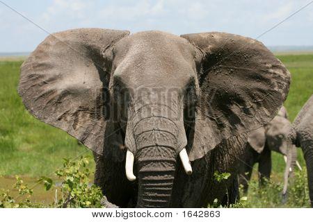 Afrikanische Elefanten Amboseli Kenia