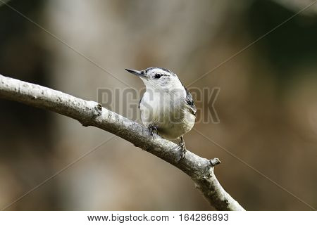 Alert White-breasted Nuthatch perched on curved branch
