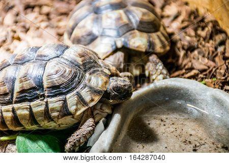 Turtle Testudo Marginata the european landturtle eating 6