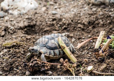 Turtle Testudo Marginata the european landturtle eating 9