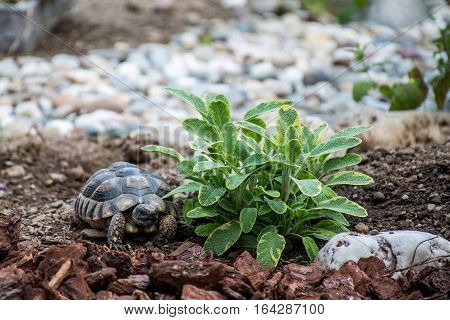 Turtle Testudo Marginata the european landturtle eating