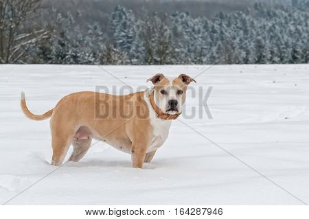 Portrait of staffordshire bull terrier in a snow