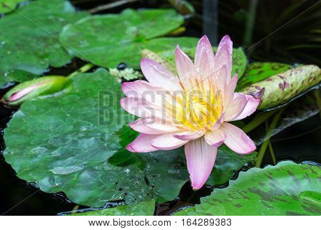 A single Water Lily in full bloom amongst a bed of Lily Pads on a Pond