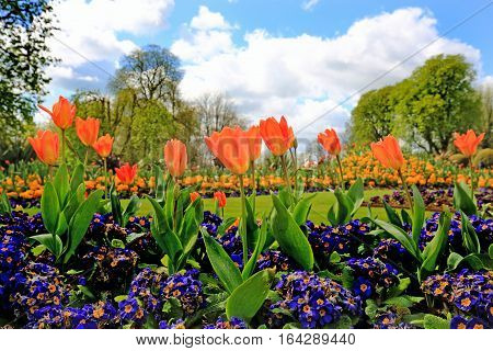 A colourful bed of Orange Tulips surrounded by purple polyanthus plants in an english country garden with a natural background setting,