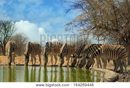 A straight line of seven Burchell Zebra drinking from camp waterhole with all heads down in Ongava Reserve, Etosha National Park, Namibia, Southern Africa