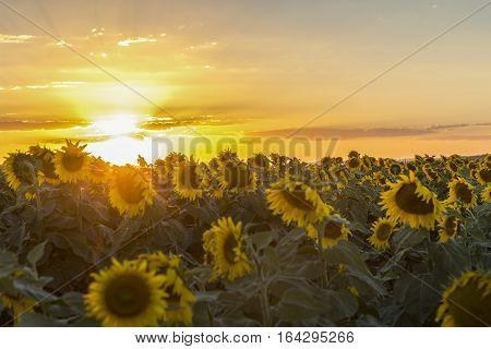 Sun setting over sunflower field in outback Australia