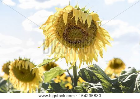Large sunflowers in a field on a sunny day, in outback Australia
