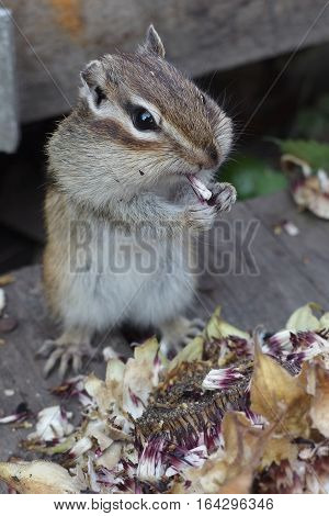 Little chipmunk makes stocks for the winter in the fall